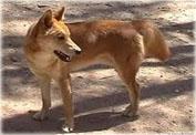 Австралийская собака динго
