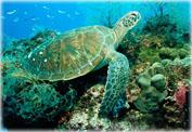Австралийские черепахи Зеленая и Бисса