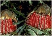 Поссумы-медоеды в Австралии