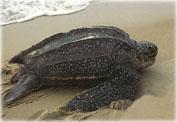 Кожистые черепахи Австралии