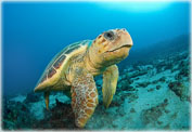Австралийские Черепахи Логгерхед и Ридлея