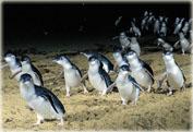 Посещение парада пингвинов на острове Филиппа