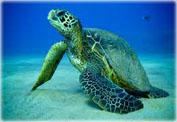 Черепахи Австралии