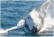 Миграция китов